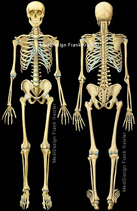 Skelett – Pr fungsvorbereitung EOB