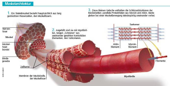Datei:Muskelaufbau.JPG – Pr fungsvorbereitung EOB