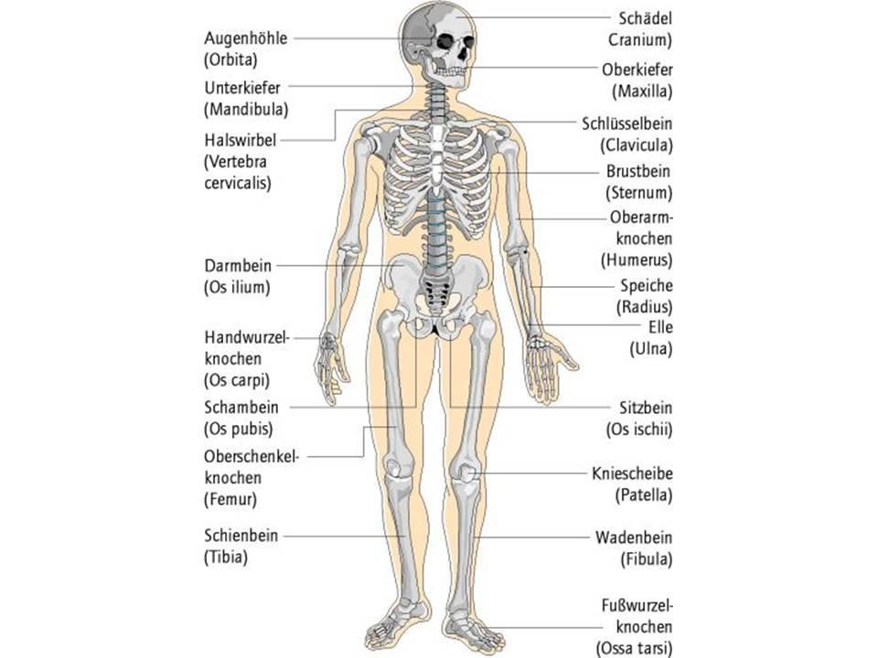 Schön Knochen Anatomie Des Menschen Ideen - Menschliche Anatomie ...
