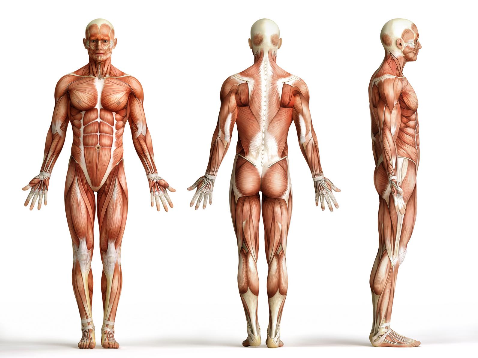 Ziemlich Große Muskeln Des Menschlichen Körpers Bilder - Menschliche ...