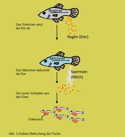Laichende fische for Lebensraum fische